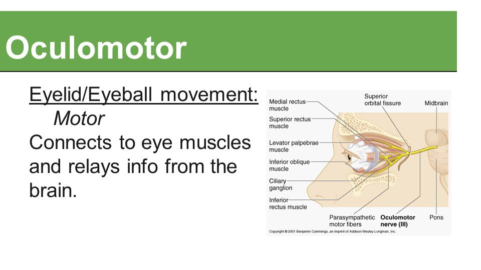 Oculomotor Eyelid/Eyeball movement: Motor Connects to eye muscles and relays info from the brain.
