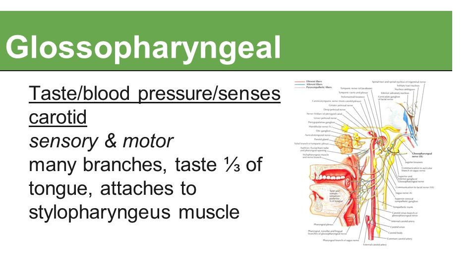 Glossopharyngeal Taste/blood pressure/senses carotid sensory & motor many branches, taste ⅓ of tongue, attaches to stylopharyngeus muscle