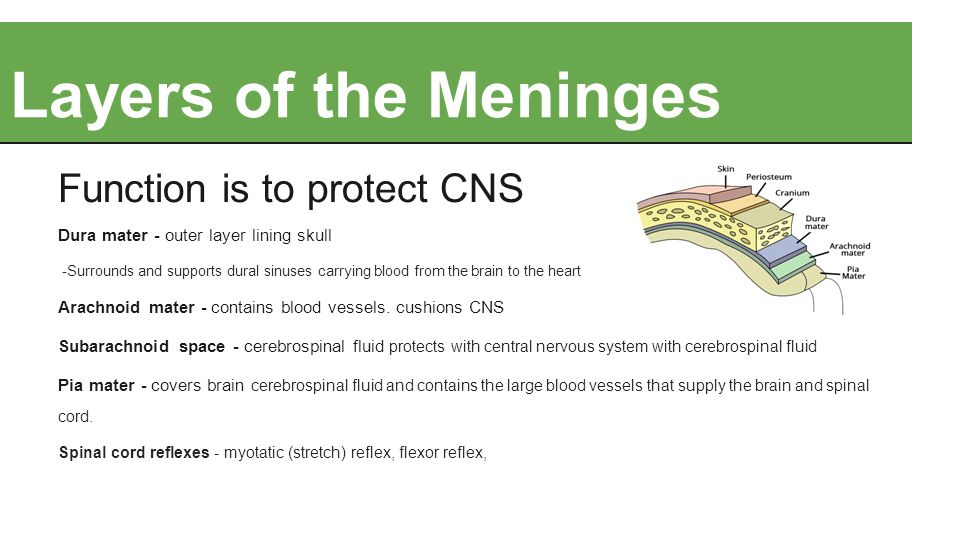 Layers of the Meninges Function is to protect CNS Dura mater - outer layer lining skull -Surrounds and supports dural sinuses carrying blood from the brain to the heart Arachnoid mater - contains blood vessels.