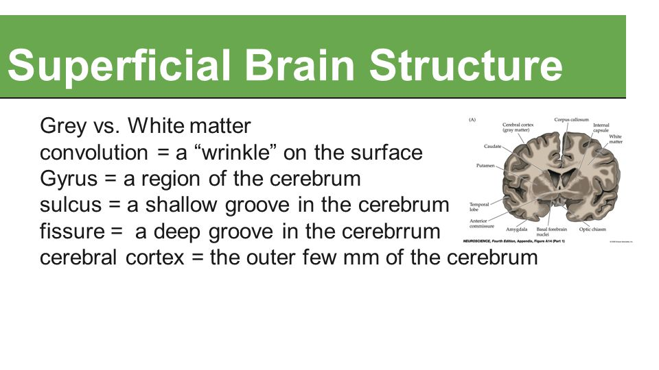 "Superficial Brain Structure Grey vs. White matter convolution = a ""wrinkle"" on the surface Gyrus = a region of the cerebrum sulcus = a shallow groove"