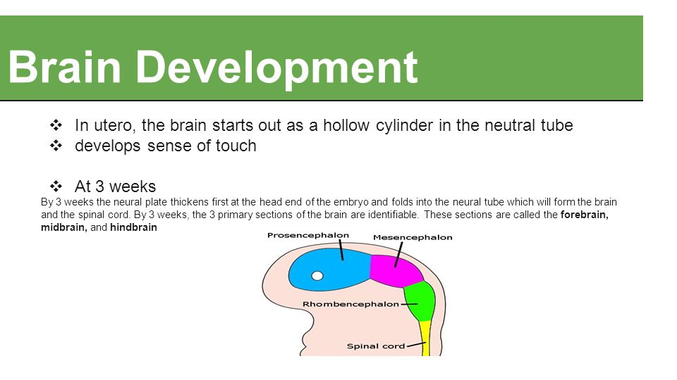 Brain Development ❖ In utero, the brain starts out as a hollow cylinder in the neutral tube ❖ develops sense of touch ❖ At 3 weeks By 3 weeks the neur