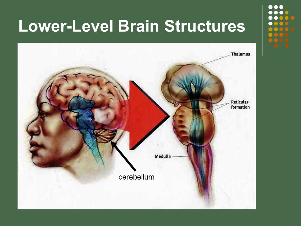 The Limbic System hypothalamus – helps regulate hunger, thirst, body temp.