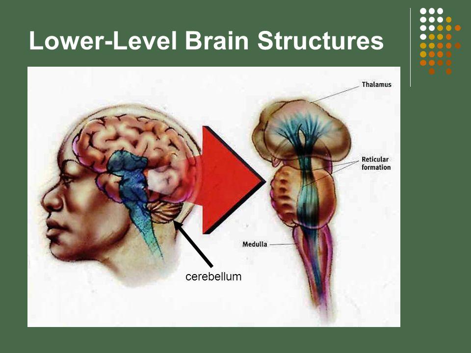 Lower-Level Brain Structures cerebellum
