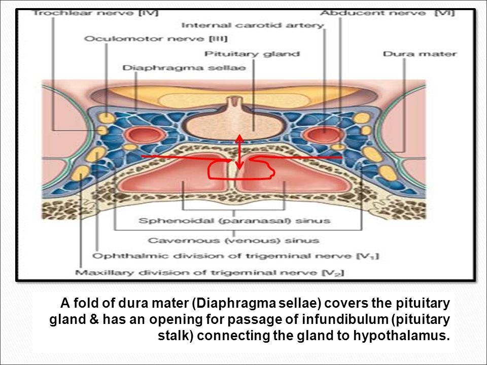 1 2 3 4 5 6 1- pituitary gland 2- sphenoid sinus 3- optic chiasm 4- hypothalamus 5- pituitary stalk 6- claivus