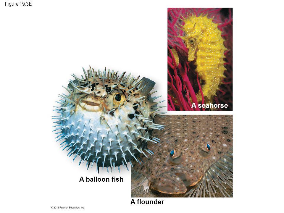 Figure 19.3E A balloon fish A flounder A seahorse
