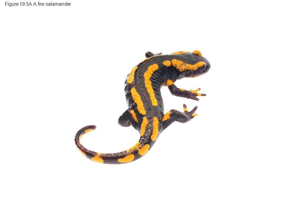 Figure 19.5A A fire salamander