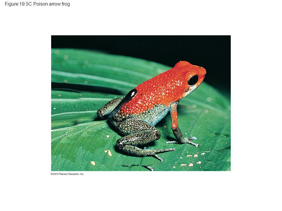 Figure 19.5C Poison arrow frog