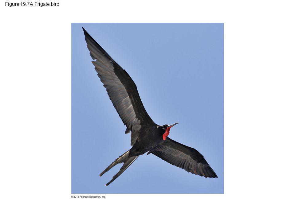 Figure 19.7A Frigate bird