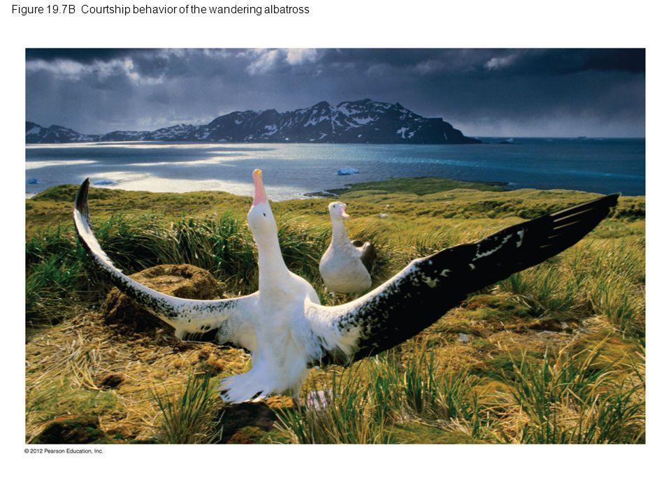 Figure 19.7B Courtship behavior of the wandering albatross