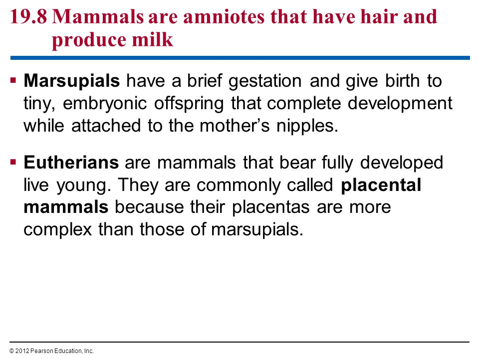  Marsupials have a brief gestation and give birth to tiny, embryonic offspring that complete development while attached to the mother's nipples.  Eu
