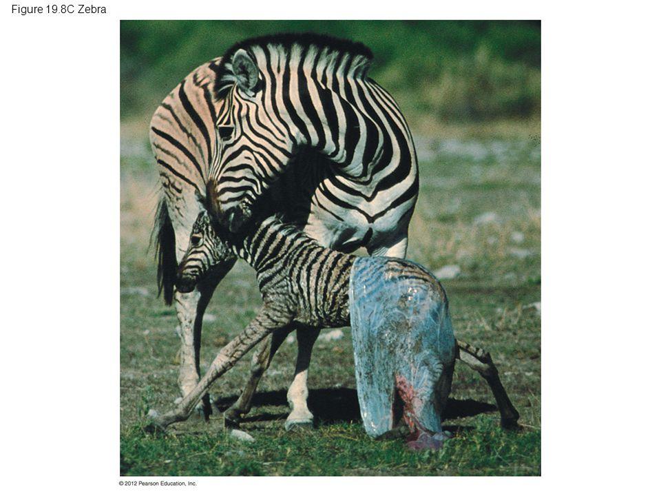 Figure 19.8C Zebra
