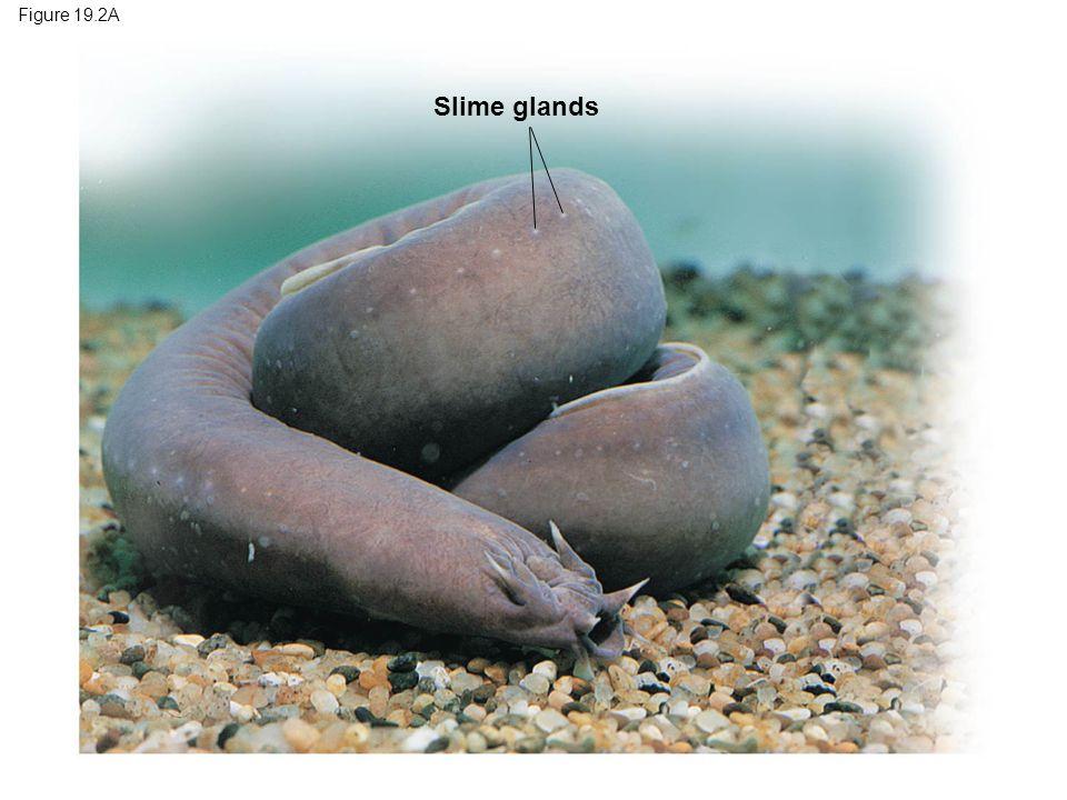 Figure 19.2A Slime glands