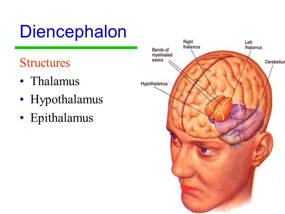 15 Diencephalon Structures Thalamus Hypothalamus Epithalamus