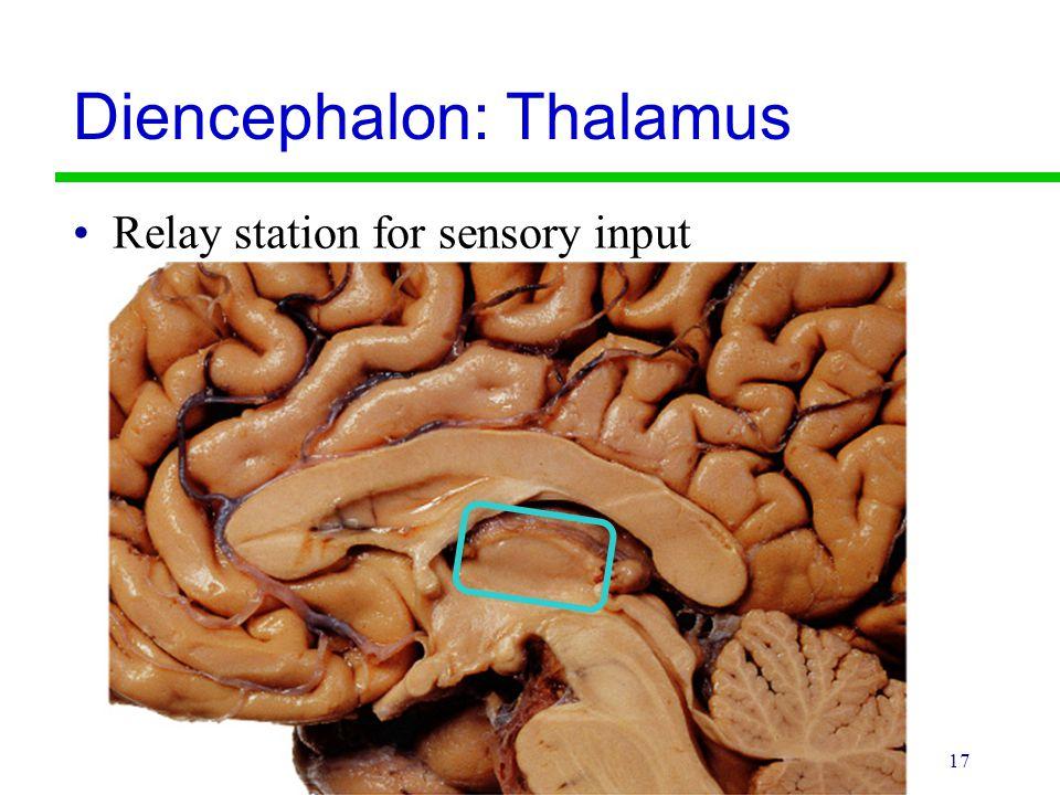 17 Diencephalon: Thalamus Relay station for sensory input