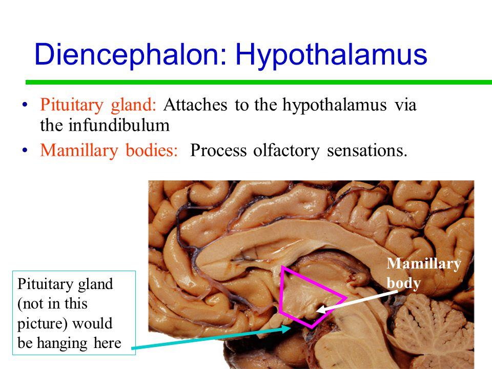 18 Diencephalon: Hypothalamus Pituitary gland: Attaches to the hypothalamus via the infundibulum Mamillary bodies: Process olfactory sensations.