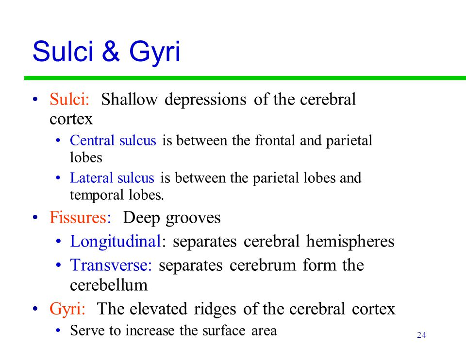 24 Sulci & Gyri Sulci: Shallow depressions of the cerebral cortex Central sulcus is between the frontal and parietal lobes Lateral sulcus is between t
