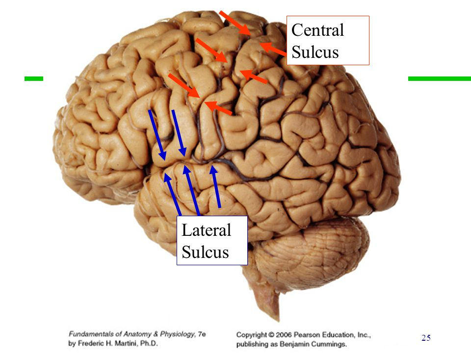 25 Lateral Sulcus Central Sulcus