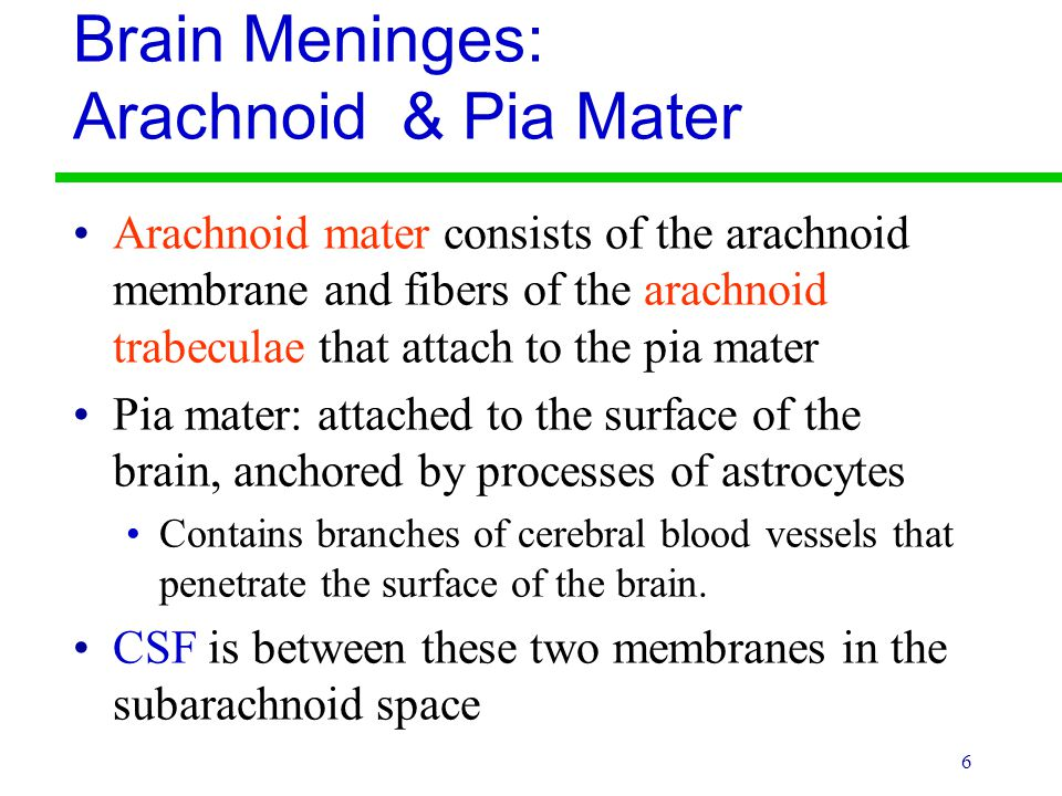 6 Brain Meninges: Arachnoid & Pia Mater Arachnoid mater consists of the arachnoid membrane and fibers of the arachnoid trabeculae that attach to the p