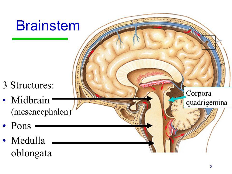 8 3 Structures: Midbrain (mesencephalon) Pons Medulla oblongata Brainstem Corpora quadrigemina