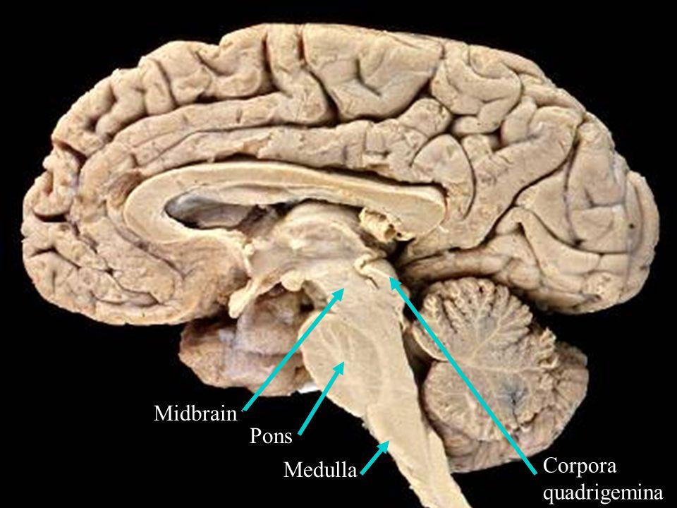 9 Pons Medulla Midbrain Corpora quadrigemina