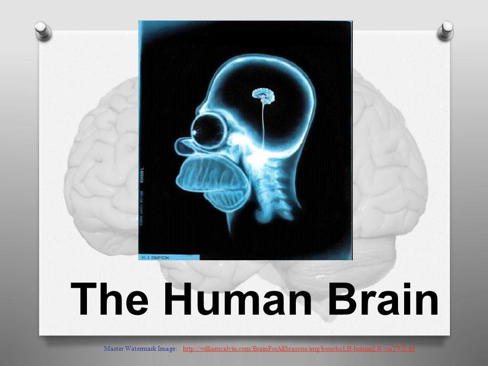 The Human Brain Master Watermark Image: http://williamcalvin.com/BrainForAllSeasons/img/bonoboLH-humanLH-viaTWD.gifhttp://williamcalvin.com/BrainForAllSeasons/img/bonoboLH-humanLH-viaTWD.gif