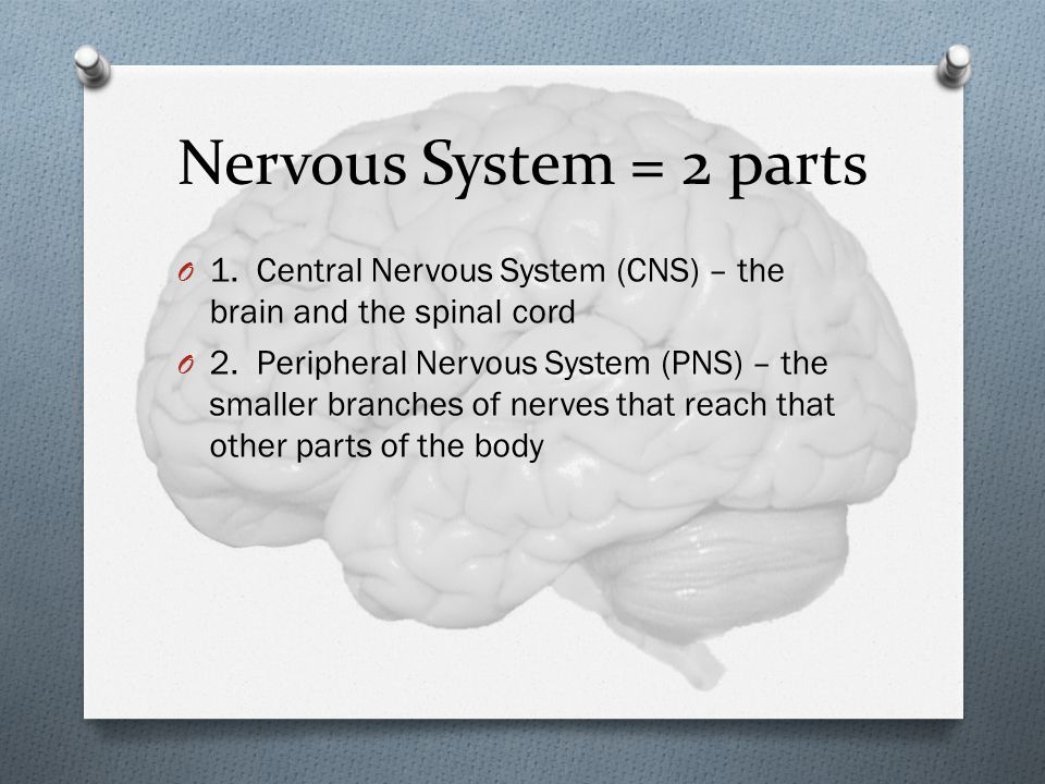 Nervous System = 2 parts O 1.Central Nervous System (CNS) – the brain and the spinal cord O 2.
