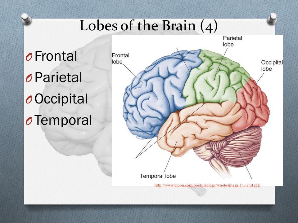 Lobes of the Brain (4) O Frontal O Parietal O Occipital O Temporal http://www.bioon.com/book/biology/whole/image/1/1-8.tif.jpg