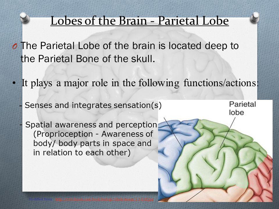 Lobes of the Brain - Parietal Lobe O The Parietal Lobe of the brain is located deep to the Parietal Bone of the skull.