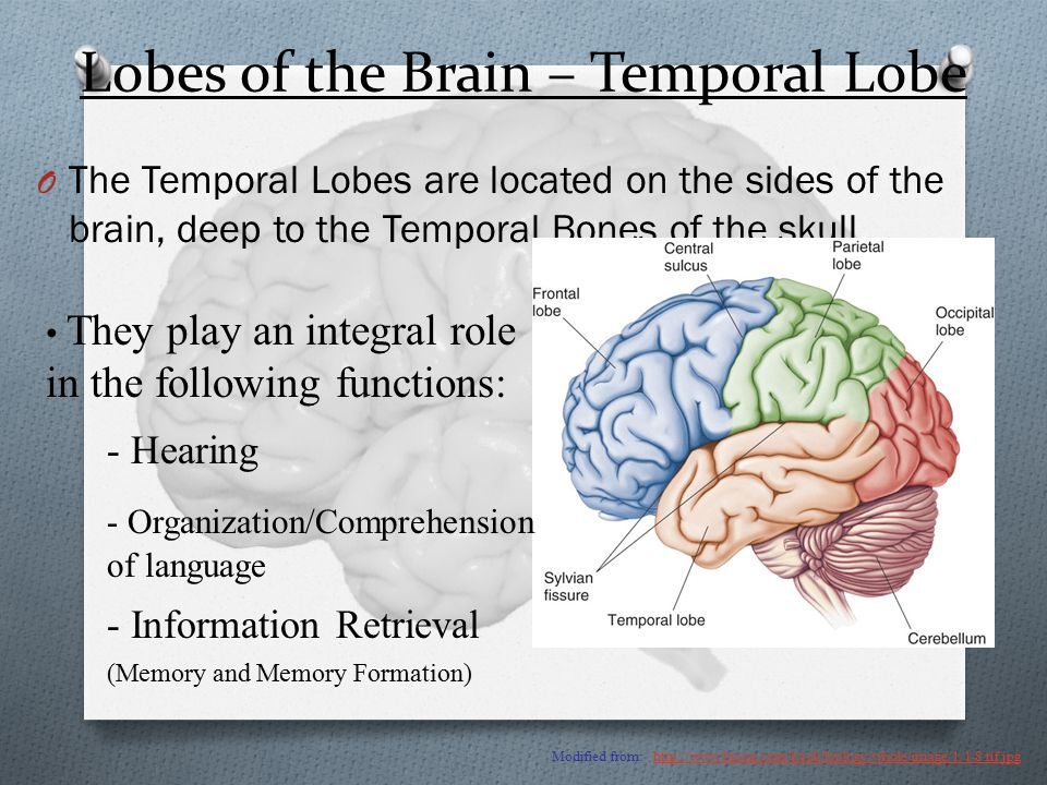 Lobes of the Brain – Temporal Lobe O The Temporal Lobes are located on the sides of the brain, deep to the Temporal Bones of the skull.