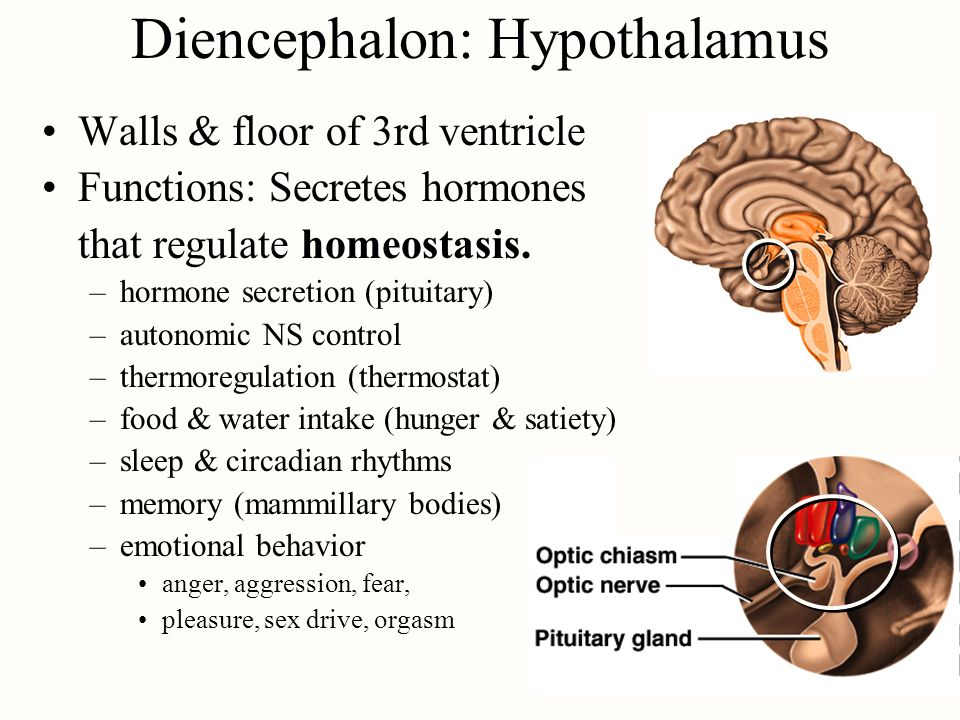 Walls & floor of 3rd ventricle Functions: Secretes hormones that regulate homeostasis. –hormone secretion (pituitary) –autonomic NS control –thermoreg