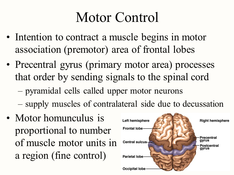 Motor Control Intention to contract a muscle begins in motor association (premotor) area of frontal lobes Precentral gyrus (primary motor area) proces