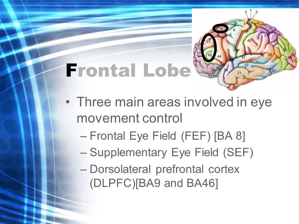 Frontal Lobe Three main areas involved in eye movement control –Frontal Eye Field (FEF) [BA 8] –Supplementary Eye Field (SEF) –Dorsolateral prefrontal cortex (DLPFC)[BA9 and BA46]