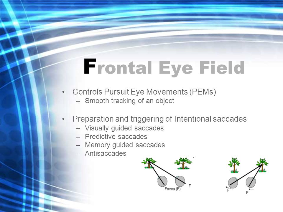 F rontal Eye Field Controls Pursuit Eye Movements (PEMs) –Smooth tracking of an object Preparation and triggering of Intentional saccades –Visually guided saccades –Predictive saccades –Memory guided saccades –Antisaccades