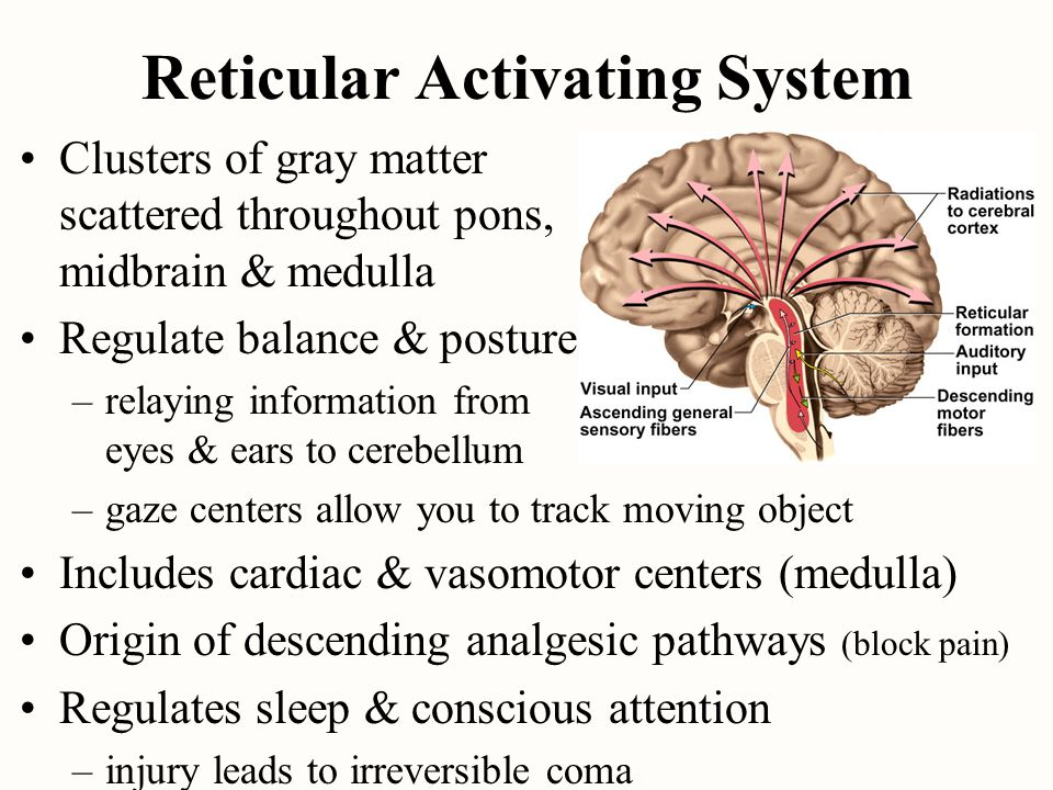 Reticular Activating System Clusters of gray matter scattered throughout pons, midbrain & medulla Regulate balance & posture –relaying information fro