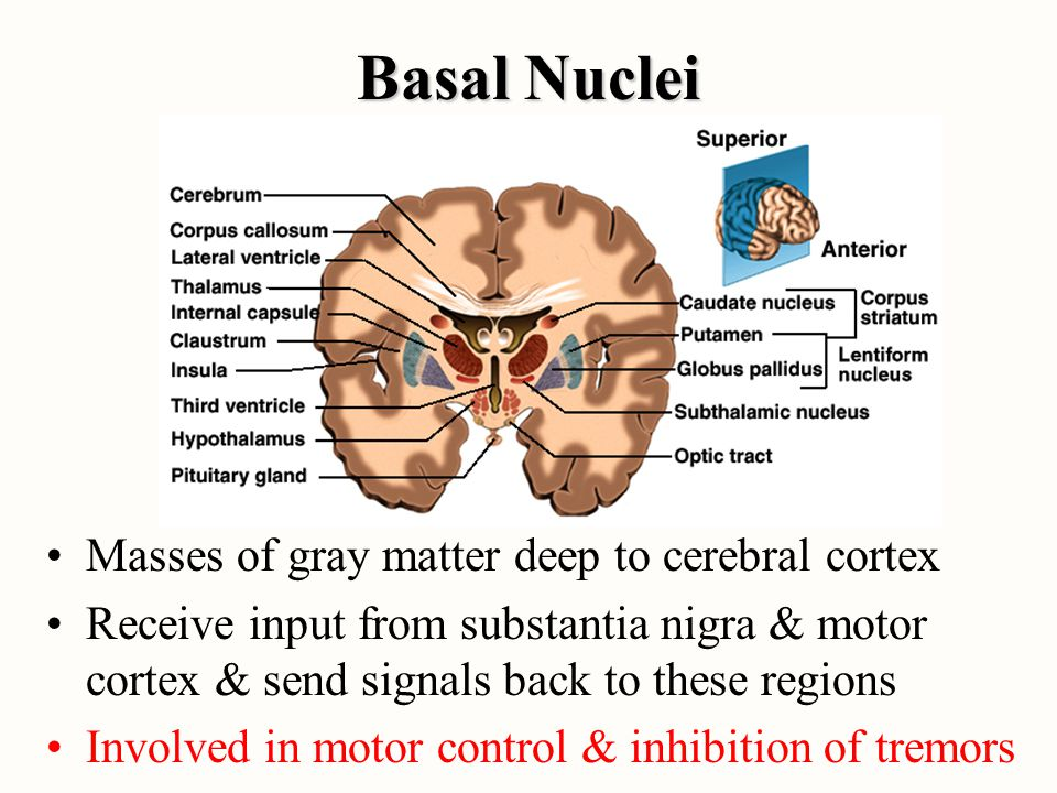 Basal Nuclei Masses of gray matter deep to cerebral cortex Receive input from substantia nigra & motor cortex & send signals back to these regions Inv