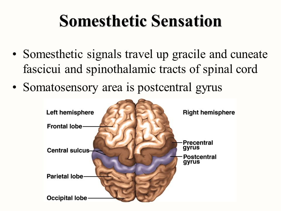 Somesthetic Sensation Somesthetic signals travel up gracile and cuneate fascicui and spinothalamic tracts of spinal cord Somatosensory area is postcen