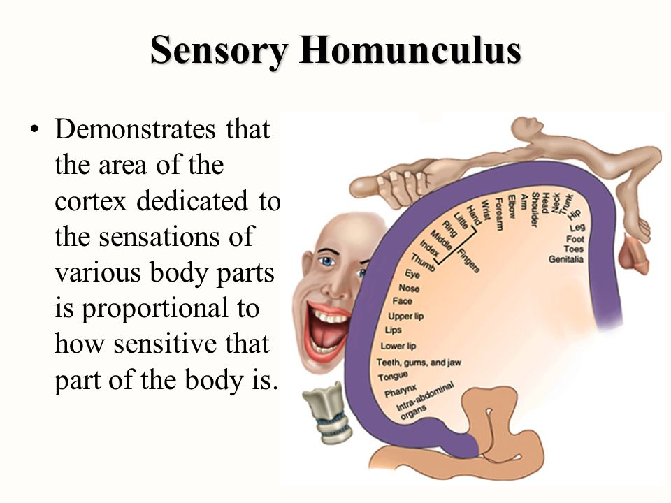 Sensory Homunculus Demonstrates that the area of the cortex dedicated to the sensations of various body parts is proportional to how sensitive that pa