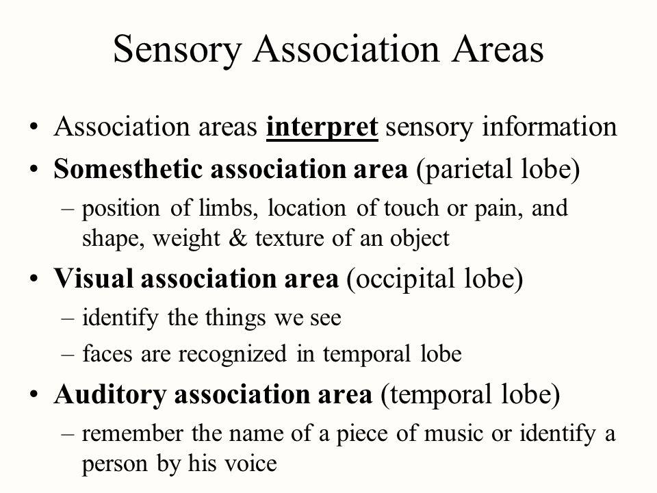 Sensory Association Areas Association areas interpret sensory information Somesthetic association area (parietal lobe) –position of limbs, location of