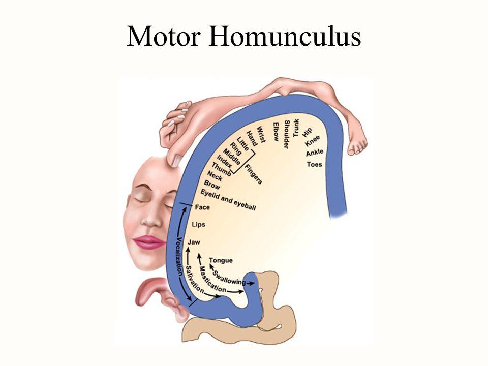 Motor Homunculus