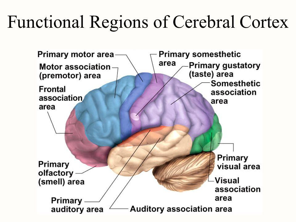 Functional Regions of Cerebral Cortex