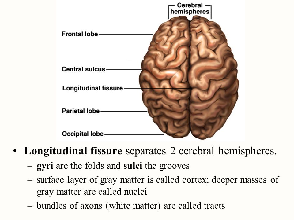 Longitudinal fissure separates 2 cerebral hemispheres. –gyri are the folds and sulci the grooves –surface layer of gray matter is called cortex; deepe