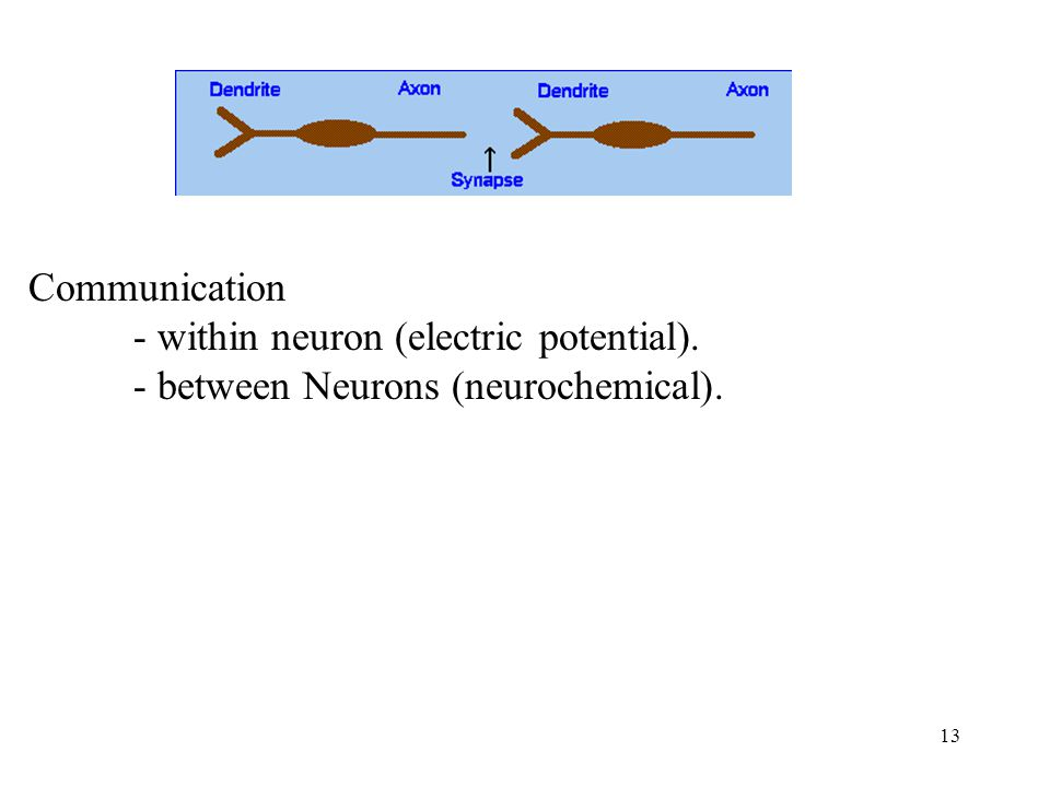 13 Communication - within neuron (electric potential). - between Neurons (neurochemical).