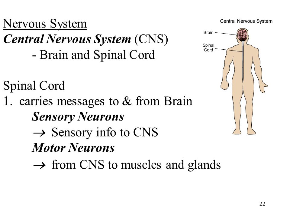 22 Nervous System Central Nervous System (CNS) - Brain and Spinal Cord Spinal Cord 1.carries messages to & from Brain Sensory Neurons  Sensory info to CNS Motor Neurons  from CNS to muscles and glands