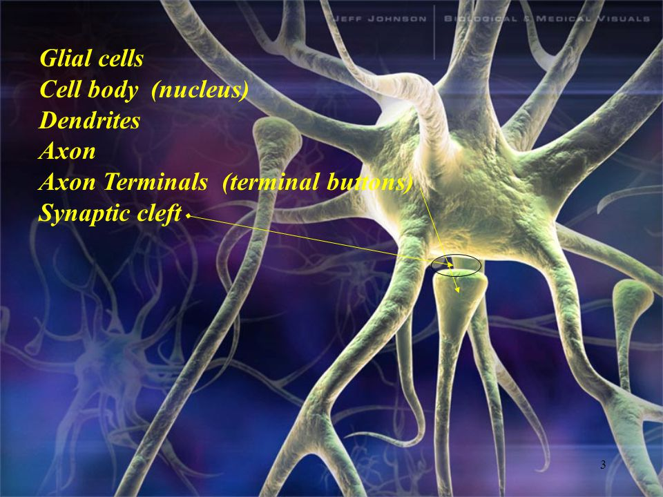 3 Glial cells Cell body (nucleus) Dendrites Axon Axon Terminals (terminal buttons) Synaptic cleft