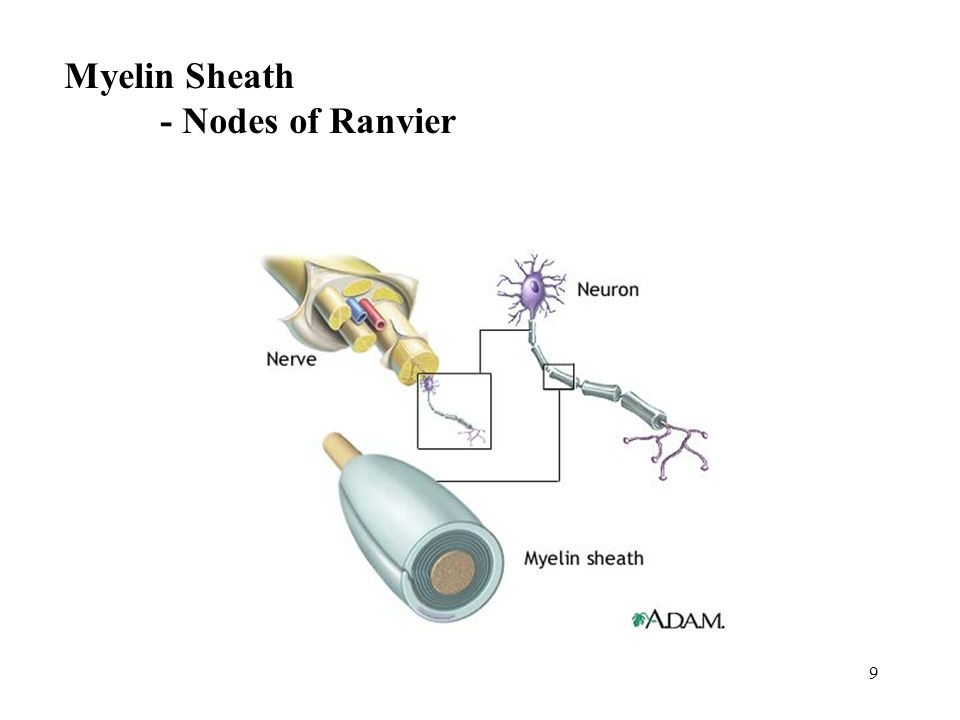 9 Myelin Sheath - Nodes of Ranvier