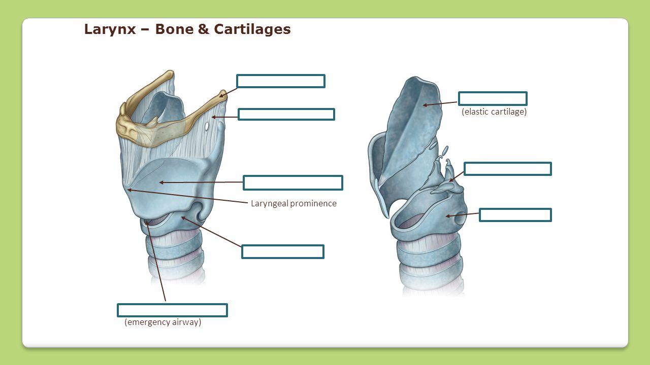 Hyoid bone Thyrohyoid membrane Thyroid cartilage Laryngeal prominence Cricoid cartilage Arytenoid cartilage Epiglottis (elastic cartilage) Cricothyroi