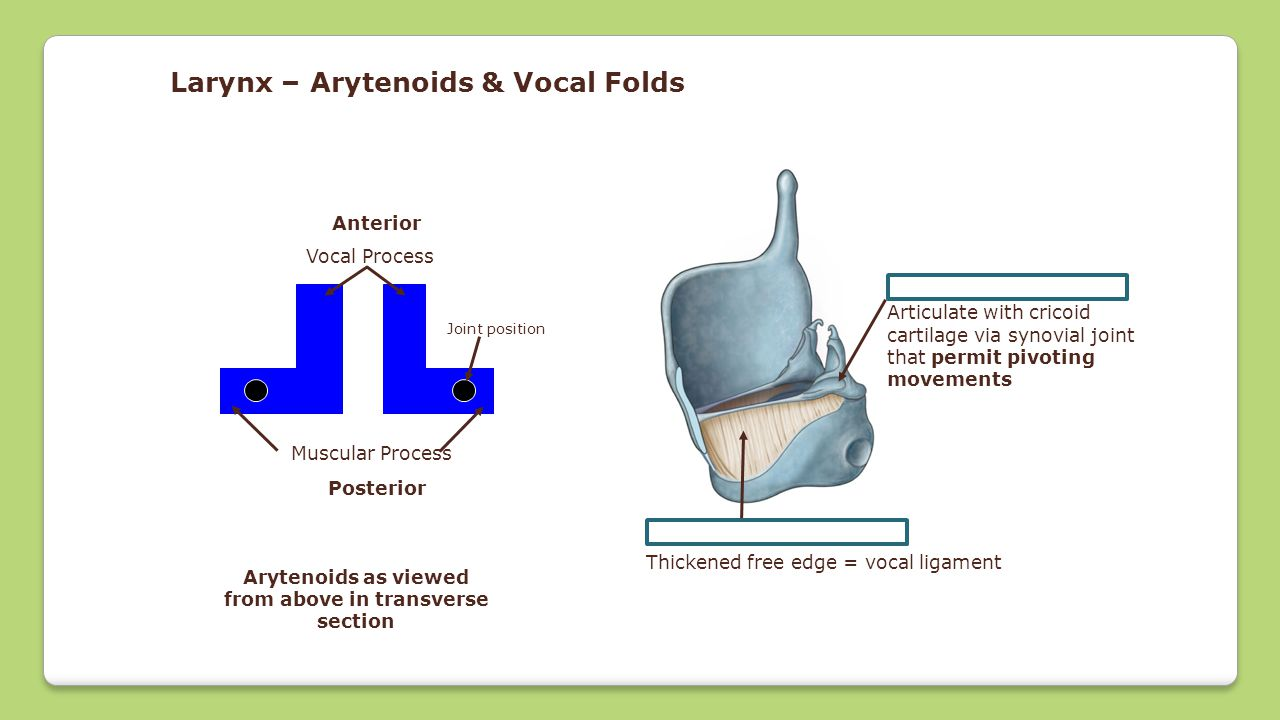 Cricovocal membrane Thickened free edge = vocal ligament Arytenoid cartilages Articulate with cricoid cartilage via synovial joint that permit pivotin