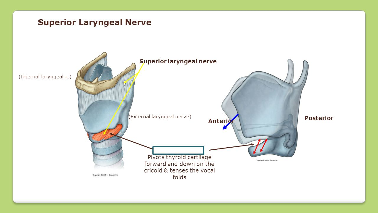Superior Laryngeal Nerve Cricothyroid Pivots thyroid cartilage forward and down on the cricoid & tenses the vocal folds Superior laryngeal nerve (Exte