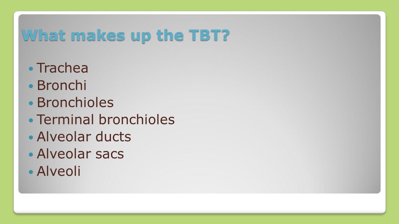 What makes up the TBT? Trachea Bronchi Bronchioles Terminal bronchioles Alveolar ducts Alveolar sacs Alveoli