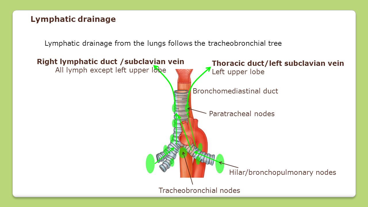 Lymphatic drainage Lymphatic drainage from the lungs follows the tracheobronchial tree Hilar/bronchopulmonary nodes Tracheobronchial nodes Paratrachea